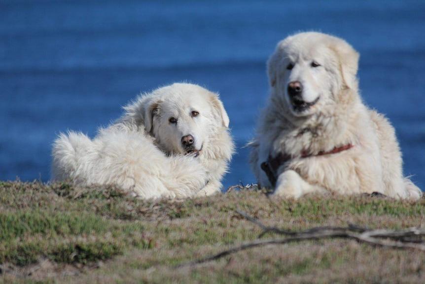 Due soffici cani da pastore bianchi sdraiati sull'erba