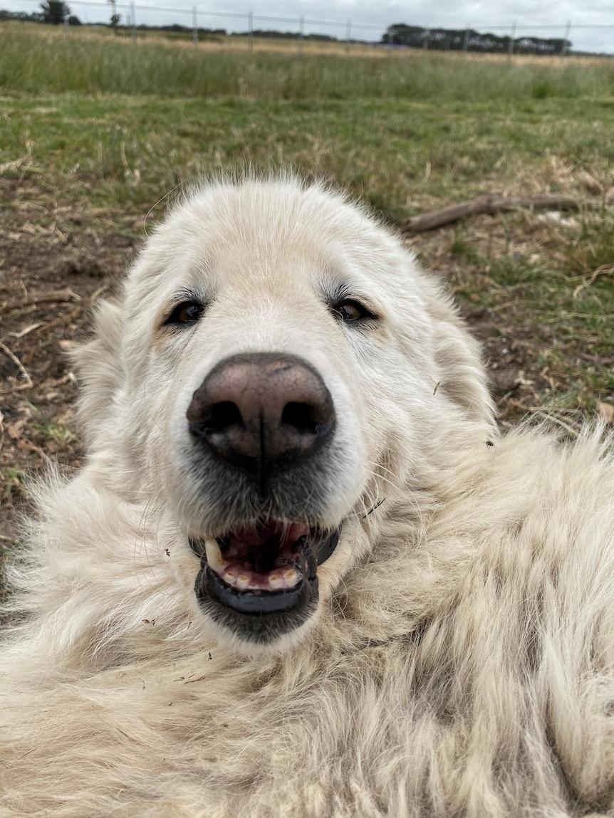 Cane pastore bianco, soffice, primo piano maremmano e sembra sorridente