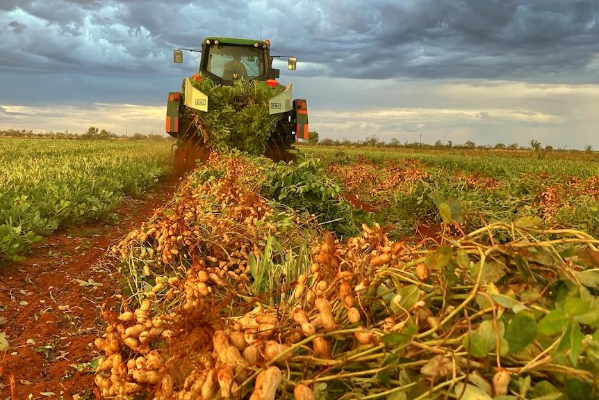 Una scavatrice di arachidi tira le noccioline in un campo di terra nel Territorio del Nord.