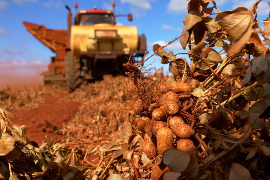 La raccolta delle arachidi è la raccolta di file di colture di arachidi nel campo di pascolo.