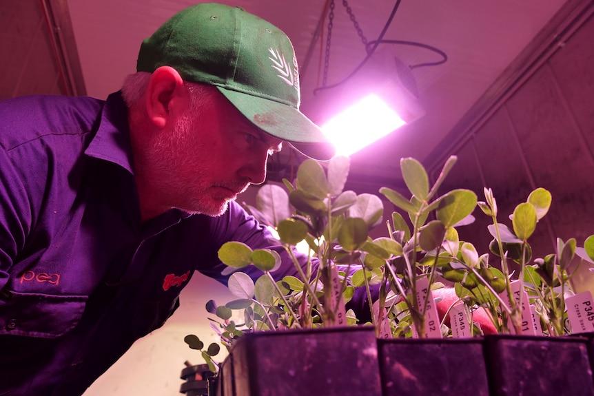 Un allevatore di semi che osserva giovani piante di arachidi in una struttura di allevamento.