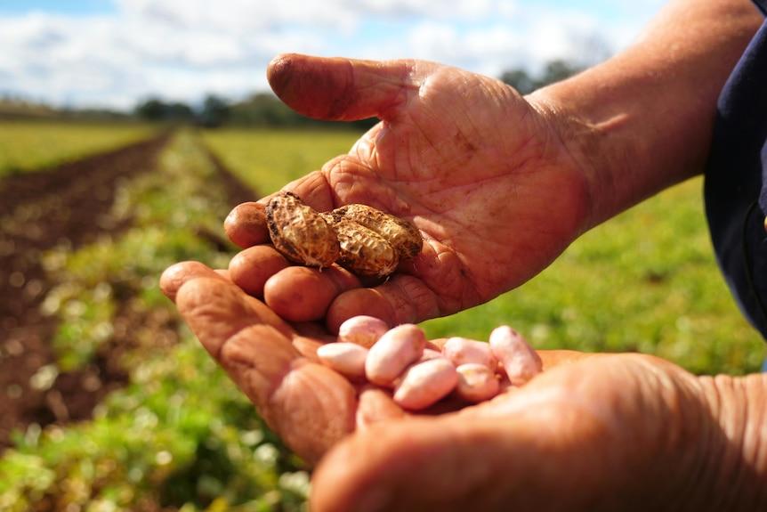 Un contadino tiene in mano delle arachidi non lavorate.