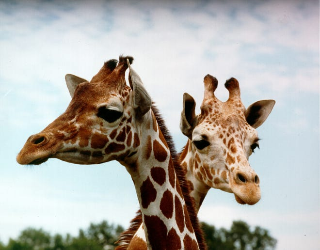 Leader del gregge: i primi animali acquisiti per Disney's Animal Kingdom erano una coppia di giraffe nel 1997.